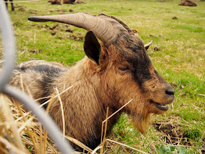 Photo: Šypsosi stumbrų bičiulis - kalnų ožys :)