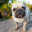 Pug Dogs Wallpapers icon