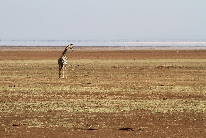 La giraffa di David Marrone