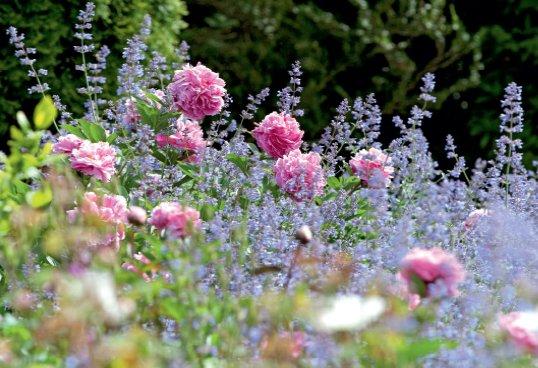 Роза с цветами в саду, какие цветы садить с розами и план цветника для маленького участка.