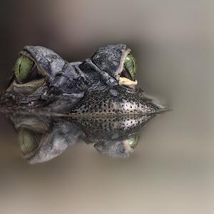 Mississippi-Alligator -Alligator mississippiensis - Hechtalligator 3813-14A.jpg