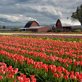 Barns & Tulips by Marie Browning - Landscapes Prairies, Meadows & Fields ( red, drama sky, barns, tulips, architecture,  )
