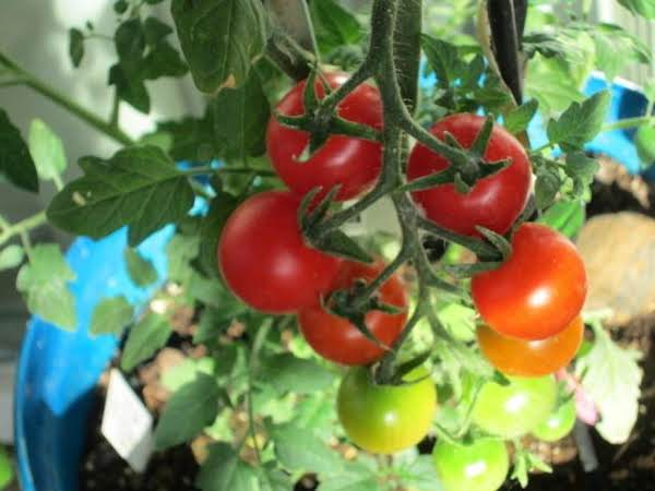 Summer Tomato Plant  Salad!from My Own Plants! Recipe