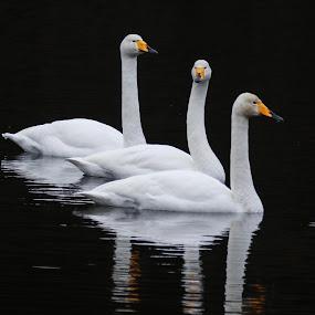 Swans by Espen Rune Grimseid - Animals Birds ( canon, swans, reflection, nature, fauna, white, birds, black )
