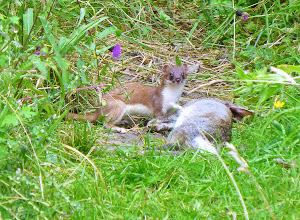 Photo: Stoat with killed rabbit