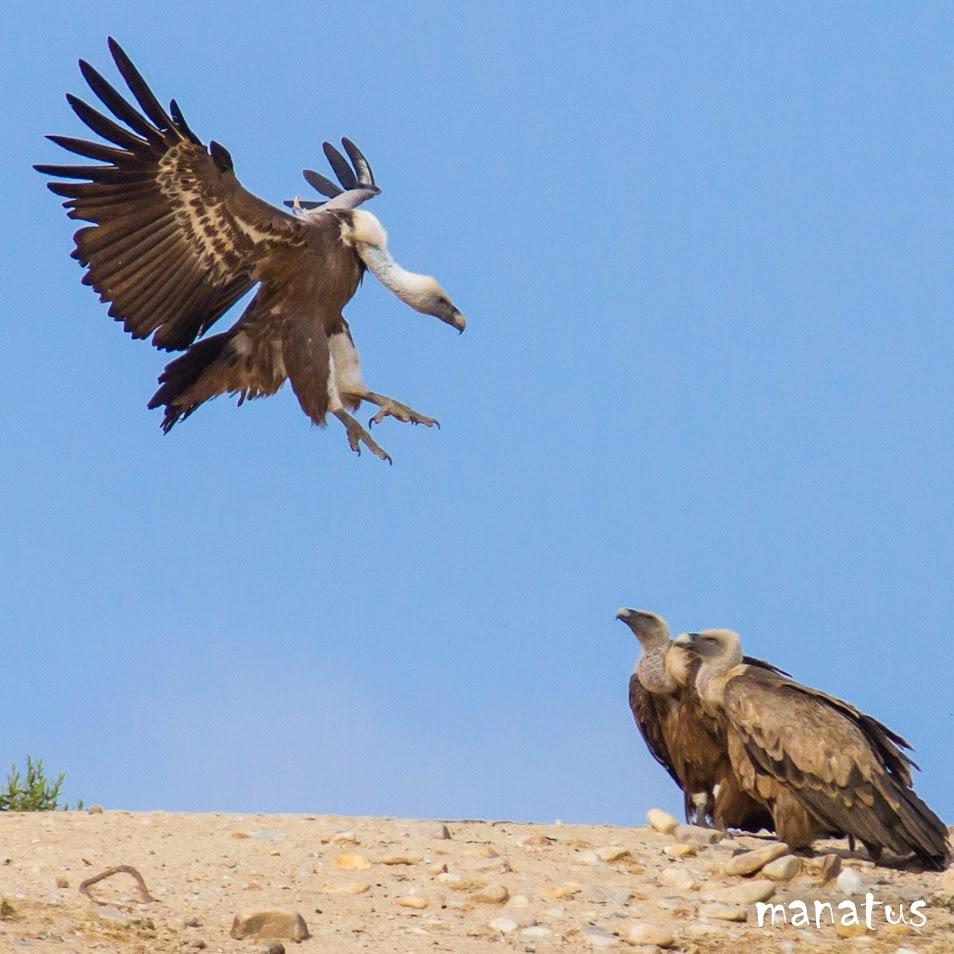 manatus buitre leonado aterrizando