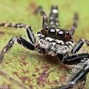 Six-spotted Scorpion Jumper