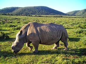 Photo: White rhinoceros, dehorned to deter poachers.