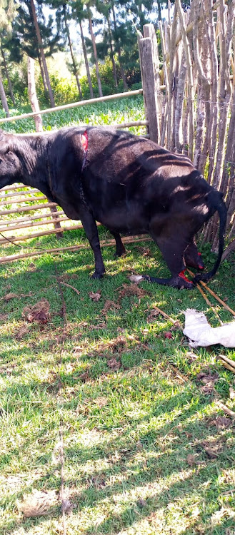 One of the dairy cows that were slashed with pangas by unknown people in Rwanyambo village, Kinangop, on Tuesday, September 22, 2020.