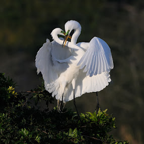 Loving Embrace by Harry Eggens - Animals Birds ( bill, fish, nikkor, wildlife, common-egret, ardea alba, great-white-egret, fort-de soto, nature, florida, harry eggens, nikon, feisol, great egret, water, wild, lagoon, camera, plumage, image, photo, bird, picture, beak, tripod )