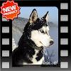 Husky Photo Frames APK