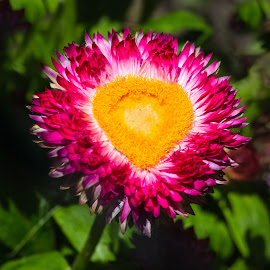 Paper Daisy by Dave Lipchen - Flowers Single Flower ( paper daisy )