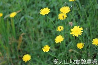 Photo: 拍攝地點: 梅峰-白楊步道 拍攝植物: 貓兒菊 拍攝日期:2012_05_26_FY