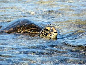 Photo: Green sea turtle up close