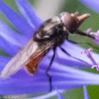 Snipe-fly