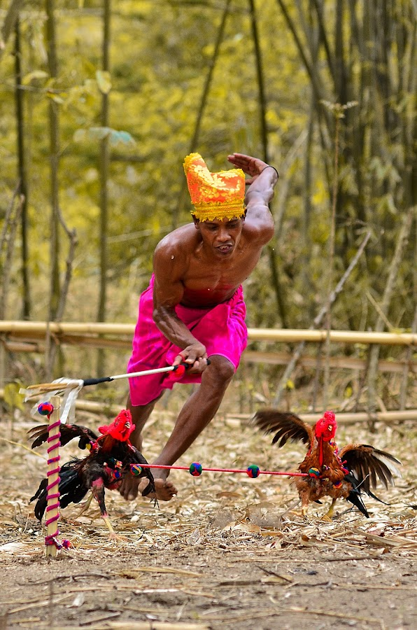 Chicken Race (Sumbawa Culture) by Saiful Muslimin - News & Events World Events ( sport, travel )