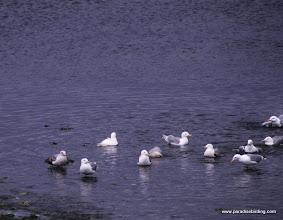 Photo: Glaucous Gull (rear left) with Glaucous-winged Gulls, Olympic Peninsula, Washington