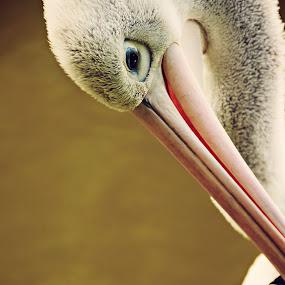 Pelican by Hanna Králíková - Animals Birds ( bird;pelican )