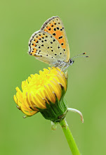 Photo: Lycaena tityrus, Cuivré fuligineux ou Argus myope, Sooty Copper  http://lepidoptera-butterflies.blogspot.com/