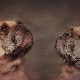 Eye on the Ball by CLINT HUDSON - Animals - Dogs Portraits ( french pug, dog, cute )
