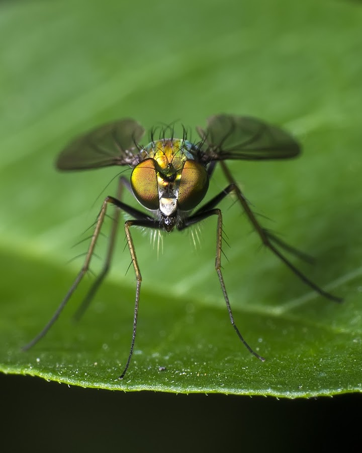 Lookin At You by Tim Crumly - Animals Insects & Spiders ( macro, bugs, insect, flies, eyes )