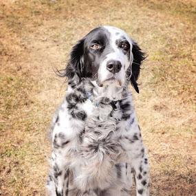 Confidence by Elaine Tweedy - Animals - Dogs Portraits