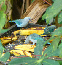 Photo: Green-blue tanagers