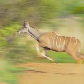 Running Kudu by Belinda O'Connor - Animals Other ( jumping kudu, kudu, buck, running )