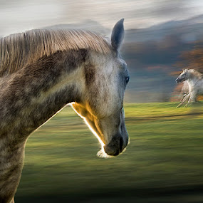 curiose by Milan Malovrh - Animals Horses ( lipicanci )