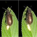 Strongygaster larvae
