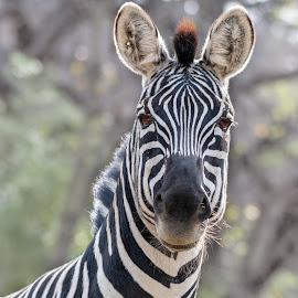 zebra by Bert Templeton - Animals Other Mammals ( zebra, stripes, africa, white, black, black and white, texas, fort worth, bert templeton )