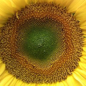 A 38 Megapixel Sunflower by Dmitri Sädus - Nature Up Close Flowers - 2011-2013 ( estonia, nokia, megapixel, sunflower, beetle, 1020, macro, nature, lumia, saaremaa, summer, 808, flower )