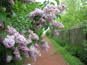 Photo: Lilacs are in full blom now - what a treat!