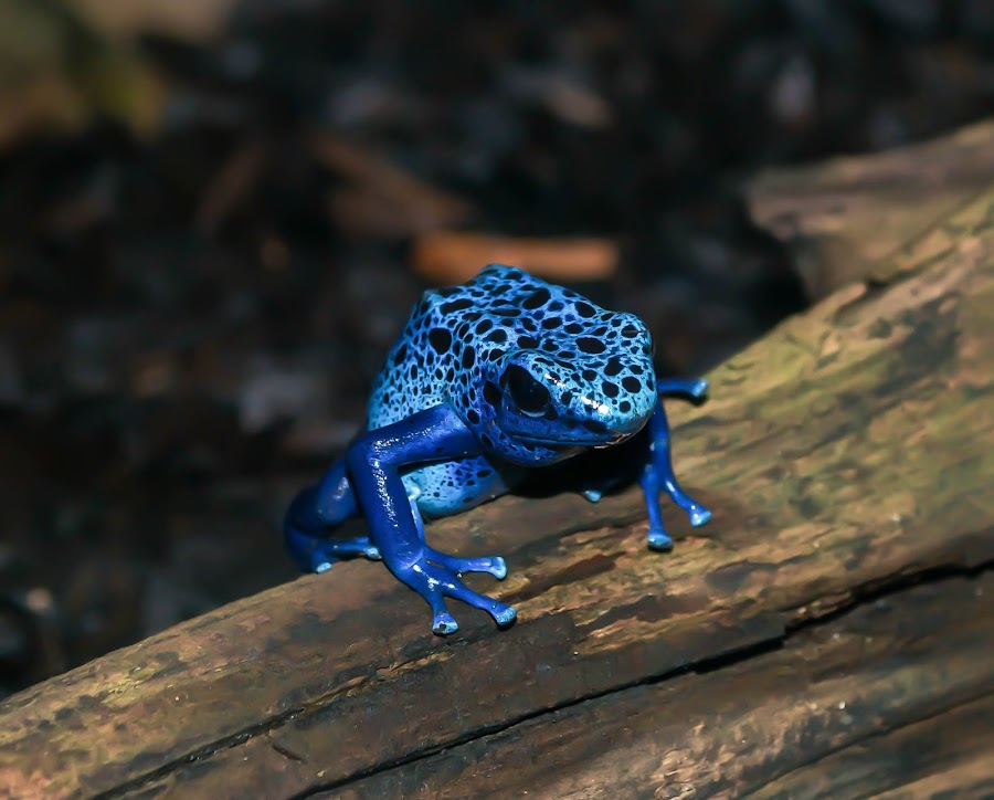 Bump on a log by Crystal Cryderman - Animals Amphibians ( log.zoo, blue, frog, cute )