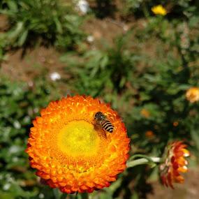 Natural Bliss by Karthish Waran - Flowers Single Flower ( #nature, #bee, #no edits, #perfectclick, #flower,  )
