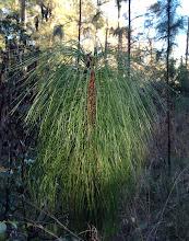Photo: Long leaf pine sapling