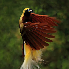 The dancing Bird of Paradise by Donny Louis - Animals Birds