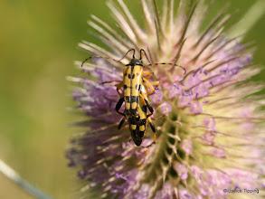 Photo: Strangalia Maculata - superficially like the Wasp Beetle.