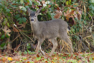 Photo: Black-tailed deer fawn in its winter coat.