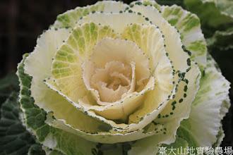Photo: 拍攝地點: 梅峰-一平臺 拍攝植物: 葉牡丹 拍攝日期: 2015_10_27_FY