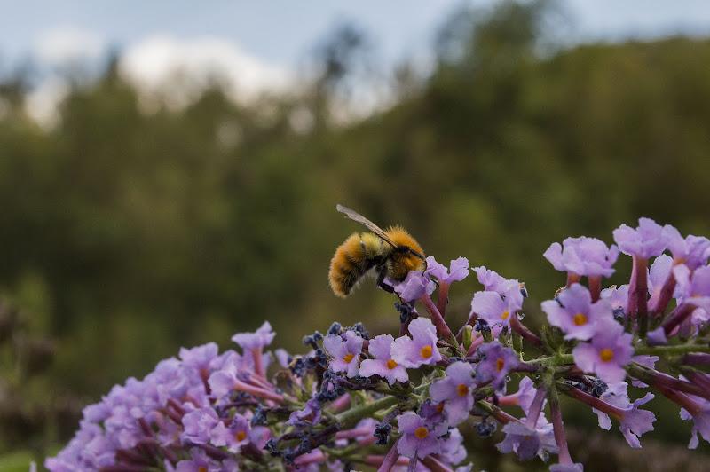 Honeybee working on the Buddleja davidii di Sara_Monaco