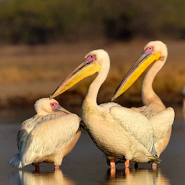 Pelicans by Manoj Kulkarni - Animals Birds ( white, nature, rosy, bird, pelican, wildlife, pelicans )