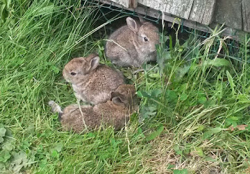 Rabbits In The Camp In Dorset