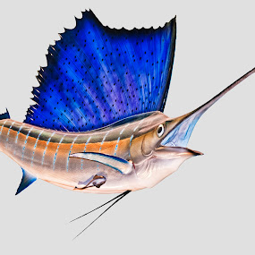 Sailfish by John Amelia - Artistic Objects Other Objects ( anchovies, swordfish, fish, istiophorus, smithsonian, upper jaw, red muscle, predatory, indo-pacific sailfish, national museum of natural history, atlantic sailfish, marlin, crescent-shaped tail, strong backbone, billfish, subspecies, pikelike, game fish, octopus, sardines, squid, white muscle, sailfish, musculature, fastest )
