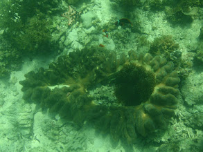 Photo: Entacmaea quadricolor (Bubble Anemone) in the middle of a leather coral, Panglao Island, Philippines