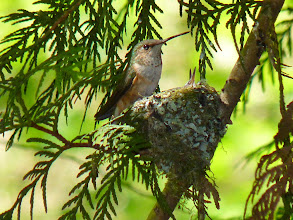 Photo: Rufous Hummingbird getting ready to feed its two chicks.