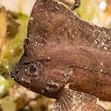 Cockatoo Waspfish