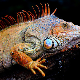 Iguana iguana male by Gérard CHATENET - Animals Reptiles