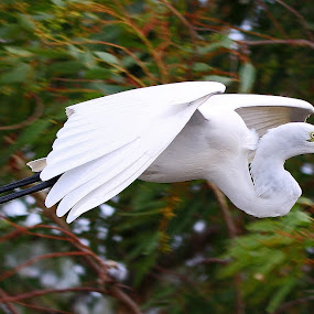 Egret in flight by Simon  Rees - Animals Birds