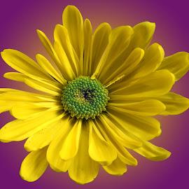 Chrysanthemum  by Asif Bora - Flowers Flowers in the Wild (  )